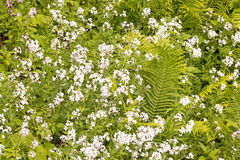 White Dames rocket and ferns Royalty Free Stock Photos