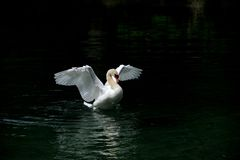 A white dancing swan Royalty Free Stock Photos