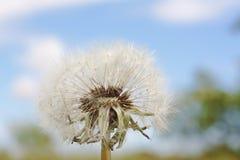 White dandelion Royalty Free Stock Photography