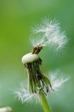 White dandelion. Macro shot of white dandelion Stock Image