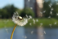 White  dandelion. Seeds fly on the backrhound of grass and pond Royalty Free Stock Photos