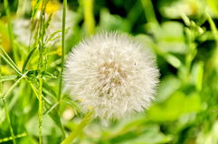 White dandelion Royalty Free Stock Photography