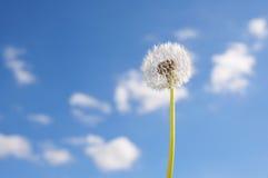 White Dandelion. Against a Blue Summer Sky Stock Photography