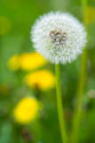 White dandelion. On a green grass Royalty Free Stock Photos