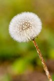 White dandelion Stock Photos