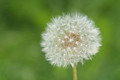 White dandelion Stock Photo