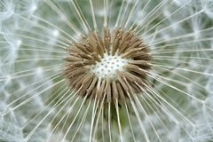White dandelion Stock Images