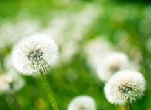 White dandelion on a background of green grass royalty free stock photos