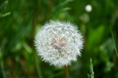 White dandelion on a background of green grass. Royalty Free Stock Photography