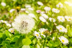 White dandelion ball on a meadow blurred background of blooming daisies. Dandelion seeds are ready to fly on a sunny spring day stock image