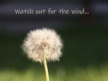 White dandelion on a blurred background with a caption watch out for the wind royalty free stock images