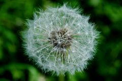 White dandelion on a bright green background Royalty Free Stock Photo