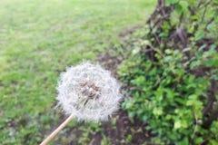 White dandelion on circa May. Green bokeh grass. Background stock image