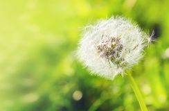 White dandelion close-up on a green background with bokeh, banne Stock Images