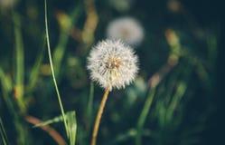 White dandelion close-up royalty free stock photo