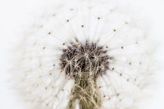 White dandelion closeup Stock Photos