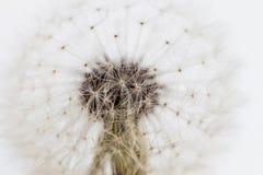 White dandelion closeup Stock Images