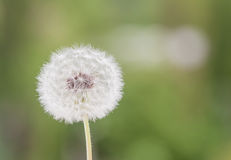 White dandelion closeup on green background Stock Images