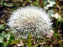 White Dandelion Closeup Photo Royalty Free Stock Images