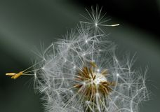 White Dandelion in Closeup Photography Stock Photos