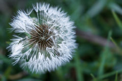 White dandelion in the dew background Royalty Free Stock Photo
