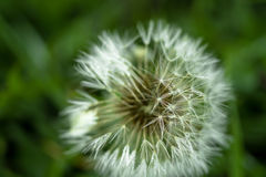 White dandelion in the dew background Royalty Free Stock Images