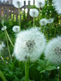 White dandelion. Does not tolerate any sudden movements. in an instant, and all the fluff flies Stock Photos