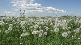 White dandelion field in summer sunny day against the background of the sky with white clouds.  stock video footage
