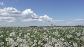 White dandelion field in summer sunny day against the background of the sky with white clouds camera moves from below to. Top stock video