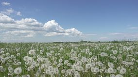 White dandelion field in summer sunny day against the background of the sky with white clouds camera moves from below to stock footage