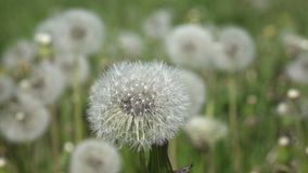 White dandelion field in summer sunny day against the background of the sky with white clouds stock footage