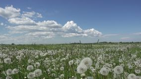 White dandelion field in summer sunny day against the background of the sky with white clouds.  stock footage