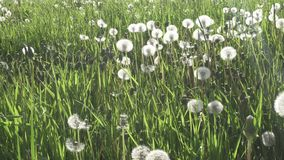 White dandelion field in sunset light walk side shot from gimbal stabilizer.  stock footage
