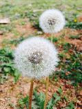 White Dandelion Flower Stock Photos