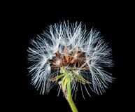 White Dandelion Flower Royalty Free Stock Photo