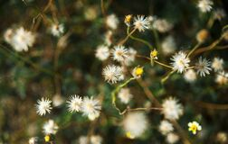 White Dandelion Flower Royalty Free Stock Image