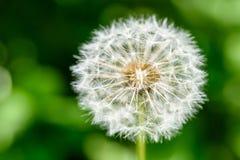 White Dandelion Flower Stock Photography