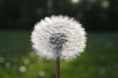 White Dandelion Flower in Close Up Photograph Royalty Free Stock Photography