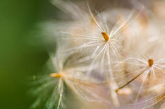 White dandelion flower. Fluffy white dandelion on the green natural background Royalty Free Stock Photography