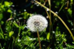 White dandelion royalty free stock image