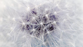 White Dandelion Flower Parachutes Macro (16:9 Aspect Ratio) Royalty Free Stock Image