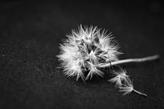 White Dandelion Flower Seed on Black Textile Indoors Stock Photos