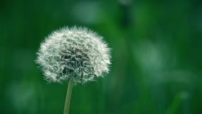 White dandelion flower seed head. Telephoto lens close-up shot Stock Photos
