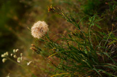 White dandelion flower in summer meadow Stock Photos