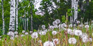 White Dandelion flowers thriving in some grasses. White Dandelion flowers thriving amongst grasses. View of numerous Dandelions thriving amongst grasses. The stock photos