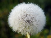 White dandelion fluff Royalty Free Stock Images