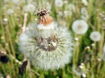 White dandelion fluff in meadow, Lithuania Royalty Free Stock Photo