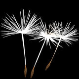 White dandelion fluffs background Royalty Free Stock Photos