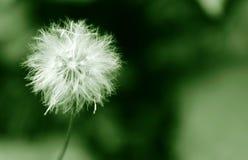 White dandelion Stock Images