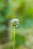 White dandelion and gray bug Royalty Free Stock Photography